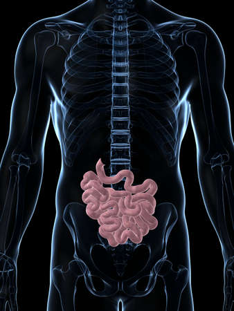 small intestine: 3d rendered illustration of the male small intestine Stock Photo