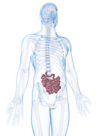 3d rendered illustration of the male small intestine Stock Illustration - 17906173