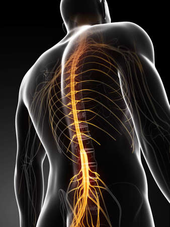 spinal cord: 3d rendered illustration of the spinal chord Stock Photo