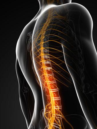 nervios: 3d rindi� la ilustraci�n de la m�dula espinal