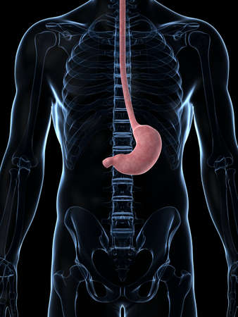 3d rendered illustration of the male stomach illustration