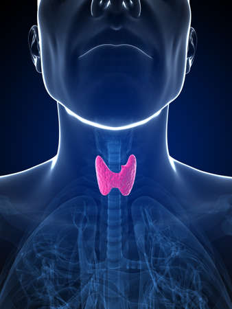 thyroid: 3d rendered illustration of the male thyroid gland