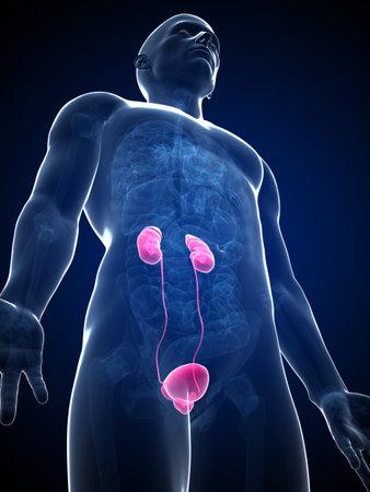 uretra: 3d rindió la ilustración de los riñones masculinos
