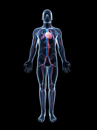human anatomy: 3d rindi� la ilustraci�n del sistema vascular humano