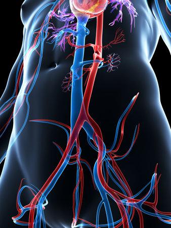 aorta: 3d rendered illustration of the human vascular system