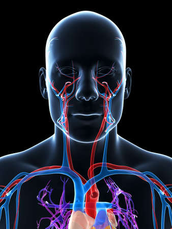 3d rendered illustration of the human vascular system illustration
