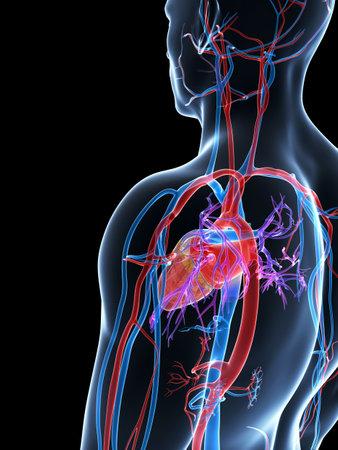 pulmonary artery: 3d rendered illustration of the human vascular system
