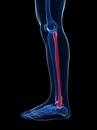 fibula: 3d rendered illustration - the fibula bone