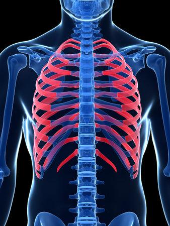 costal: 3d rendered illustration - ribcage