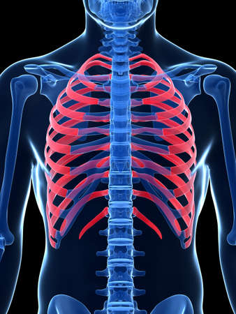 ribcage: 3d rendered illustration - ribcage