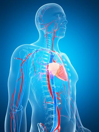 body heart: 3d rendered illustration of the human vascular system