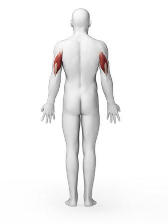 triceps: 3d rendered illustration - triceps