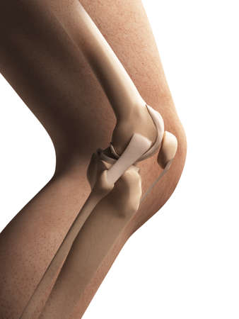 3d rendered illustration - anatomy of the knee illustration