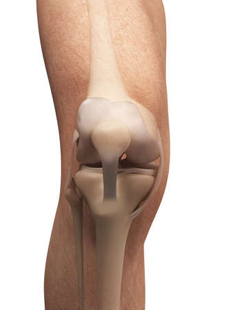 shin bone: 3d rendered illustration - anatomy of the knee