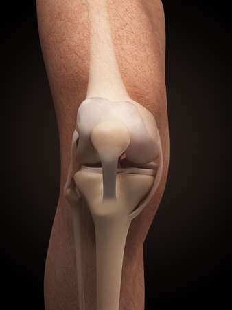 ligament: 3d rendered illustration - anatomy of the knee
