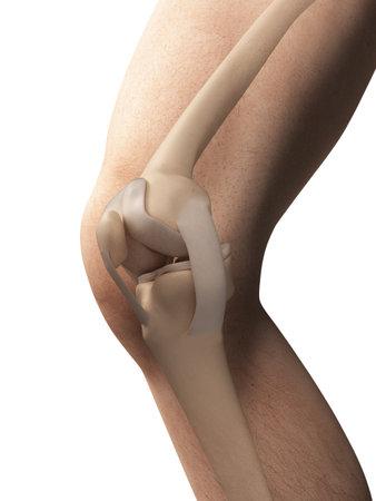 anatomy knee: 3d rendered illustration - anatomy of the knee