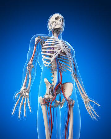 scheletro umano: Illustrazione di rendering 3D - sistema vascolare