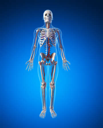 human bones: 3d rendered illustration - vascular system