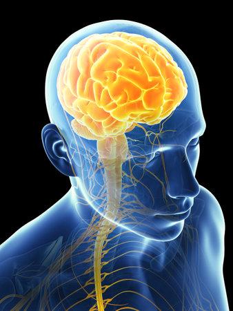 medical scans: 3d rendered illustration - male brain Stock Photo