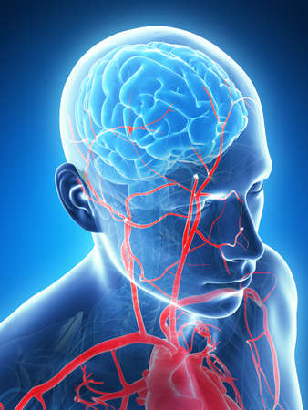 healthy arteries: 3d rendered illustration - male brain Stock Photo