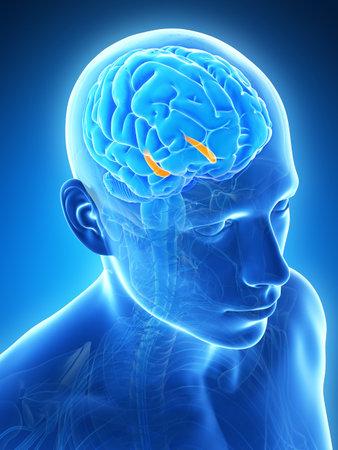 tomogram: 3d rendered illustration - hippocampus