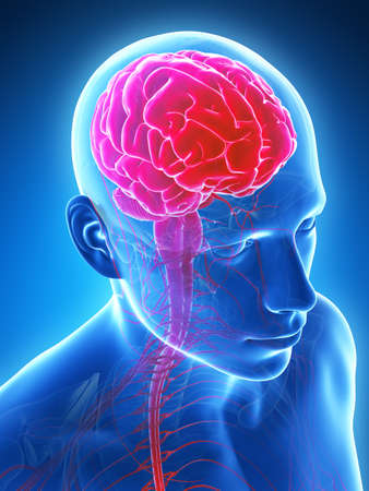 scans: 3d rendered illustration - male brain Stock Photo