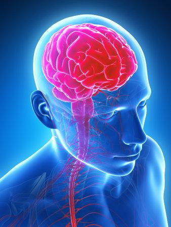 mri head: 3d rendered illustration - male brain Stock Photo