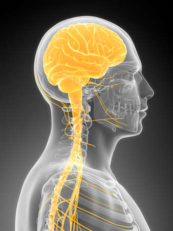 brainpan: 3d rendered illustration - male brain Stock Photo