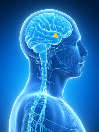 mri head: 3d rendered illustration - hypothalamus