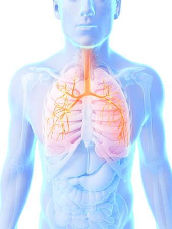 3d rendered illustration - male lung Stock Illustration - 18071020