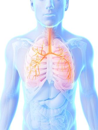 vocal: 3d rendered illustration - male lung