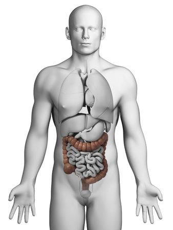 abdominal organs: 3d rendered illustration - colon