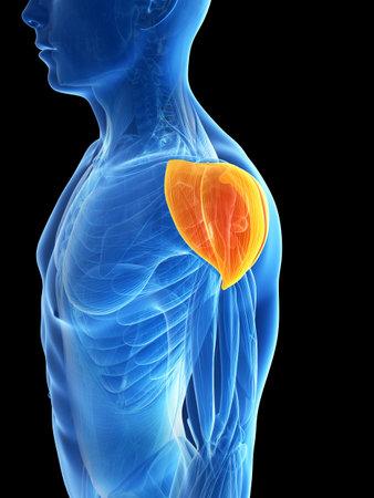 deltoid: 3d rendered illustration - shoulder muscle