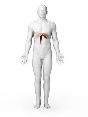 diaphragm: 3d rendered illustration - diaphragm