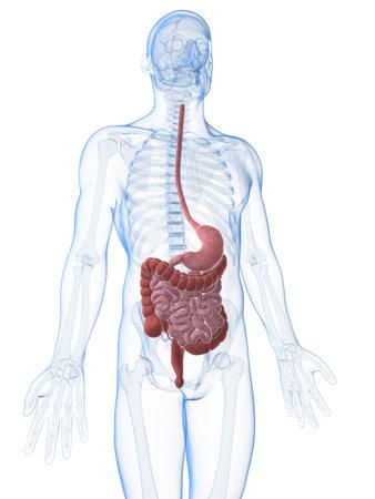 3d rendered illustration of the male digestive system Stock Illustration - 18070893