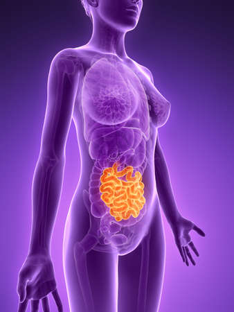 small intestine: 3d rendered illustration - small intestine