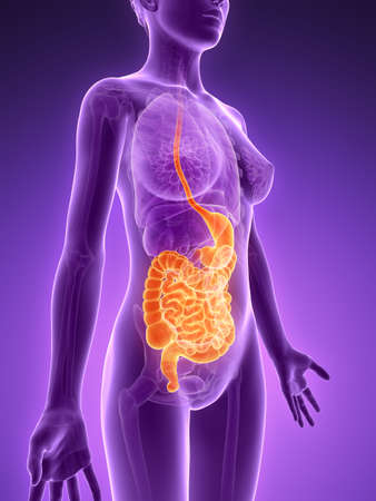 female large intestine: 3d rendered illustration - digestive system Stock Photo
