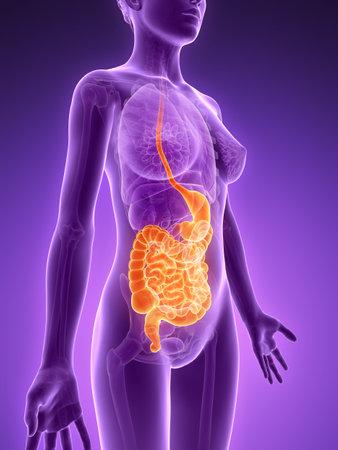 intestino grueso: Ilustración 3d rendered - sistema digestivo Foto de archivo