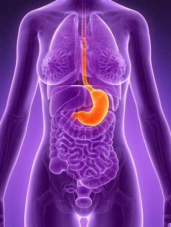 esophagus: 3d rendered illustration - stomach