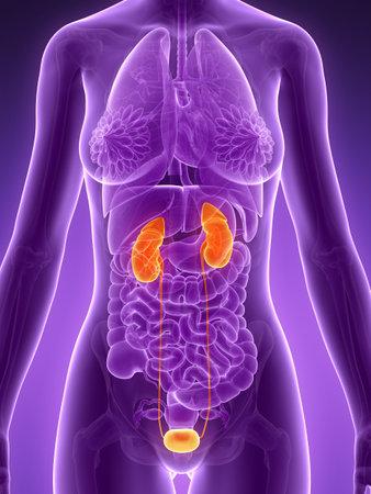 suprarrenales: 3d rindió la ilustración - sistema urinario