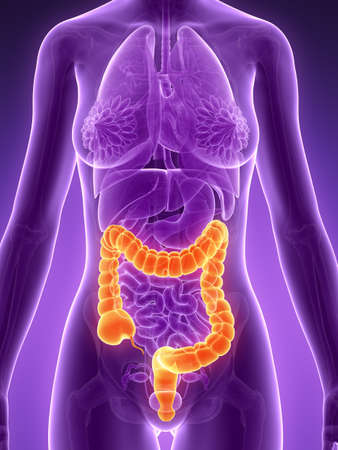 female large intestine: 3d rendered illustration - colon