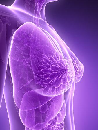 3d rendered illustration - female anatomy illustration
