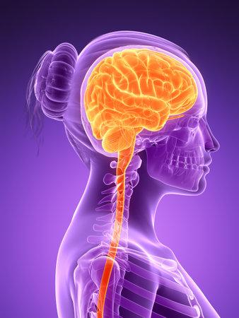 3d rendered illustration - female brain illustration