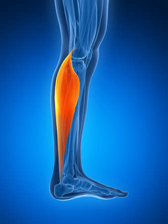gastrocnemius: 3d rendered illustration - gastrocnemius