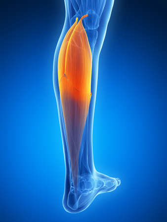 lower body: 3d rendered illustration - gastrocnemius