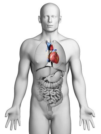 abdominal pain: 3d rendered illustration - male heart Stock Photo