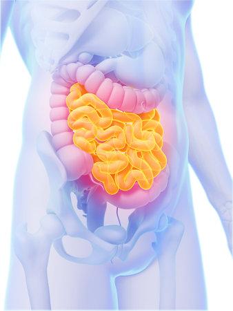 intestin: 3d illustration de rendu - intestin gr�le