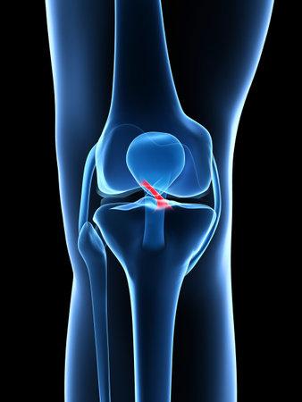 ligament: 3d rendered illustration - knee anatomy