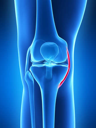knee cap: 3d rendered illustration - knee anatomy
