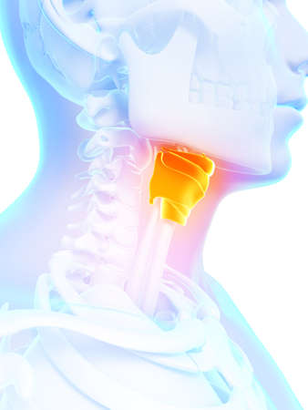 larynx: 3d rendered illustration - larynx